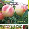 山东新品种果树苗