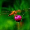 红 蜻 蜓