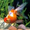 衡水小金鱼