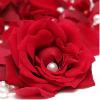 玫瑰最华丽