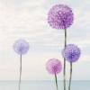 紫色蒲公英